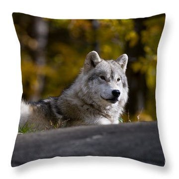 Throw Pillow featuring the photograph Resting Arctic Wolf On Rocks by Wolves Only