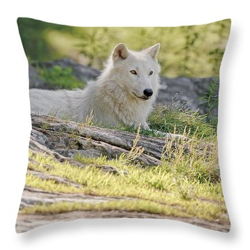 Throw Pillow featuring the photograph Resting Arctic Wolf by Wolves Only