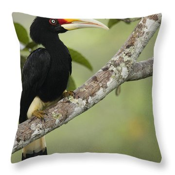 Rhinoceros Hornbill Female Sepilok Throw Pillow by Sebastian Kennerknecht