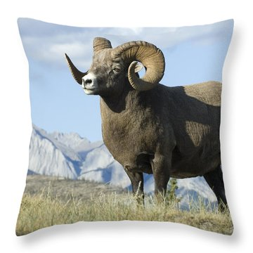 Rocky Mountain Big Horn Sheep Throw Pillow