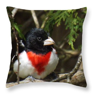 Rose Breasted Grosbeak Perched Throw Pillow by Brenda Brown