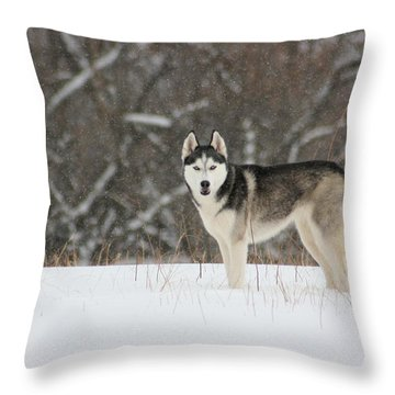 Siberian Husky 20 Throw Pillow by David Dunham