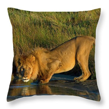 Side Profile Of A Lion Drinking Water Throw Pillow