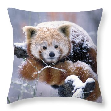 Snowy Red Or Lesser Panda Throw Pillow