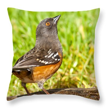 Spotted Towhee Looking Up Throw Pillow