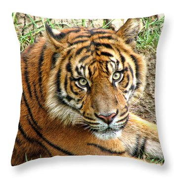 Staring Tiger Throw Pillow
