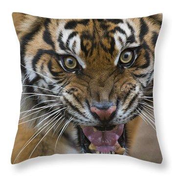 Sumatran Tiger Male Snarling Native Throw Pillow