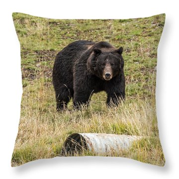 Throw Pillow featuring the photograph The Big Black Grizzly Boar by Yeates Photography