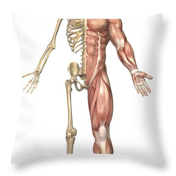 The Human Skeleton And Muscular System Throw Pillow by Stocktrek Images