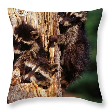Three Young Raccoons In Hollow Tree Throw Pillow