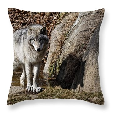 Throw Pillow featuring the photograph Timber Wolf In Pond by Wolves Only