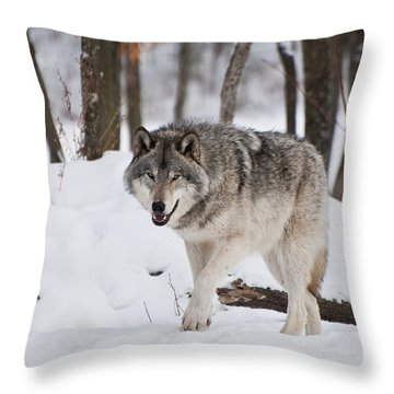 Throw Pillow featuring the photograph Timber Wolf In Winter Forest by Wolves Only