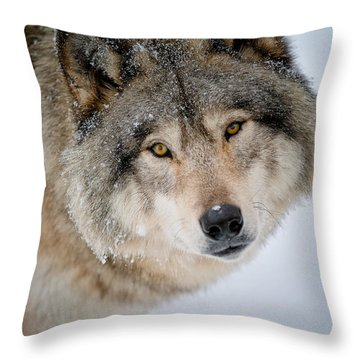 Timber Wolf Pictures 255 Throw Pillow