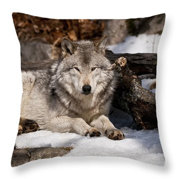 Timber Wolf Pictures 776 Throw Pillow by World Wildlife Photography