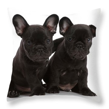Two French Bulldog Puppies, 6 Weeks Throw Pillow