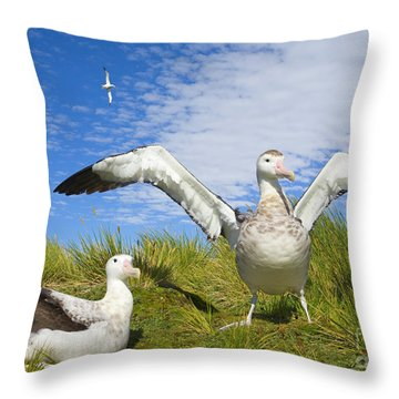 Wandering Albatross Courting  Throw Pillow by Yva Momatiuk John Eastcott