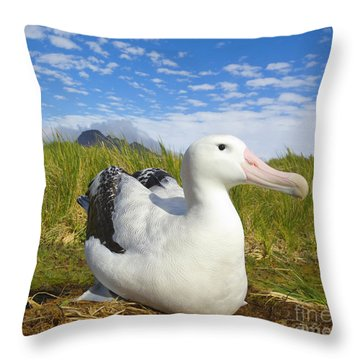 Wandering Albatross Incubating  Throw Pillow by Yva Momatiuk John Eastcott