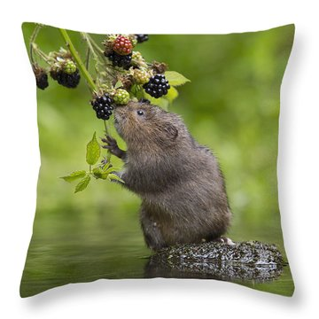 Water Vole Eating Blackberries Kent Uk Throw Pillow