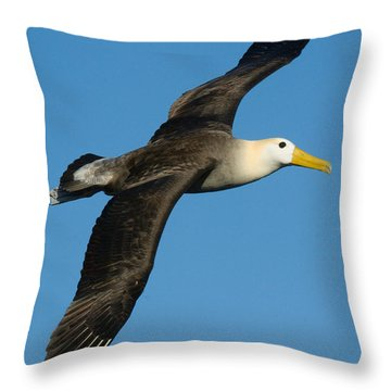 Waved Albatross Diomedea Irrorata Throw Pillow by Panoramic Images