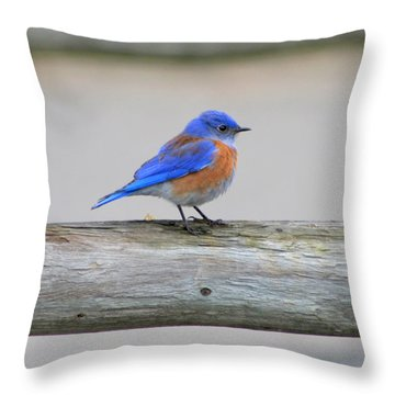 Throw Pillow featuring the photograph Western Bluebird Perching by Bob and Jan Shriner