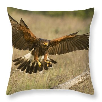 Wild Harris Hawk Landing Throw Pillow