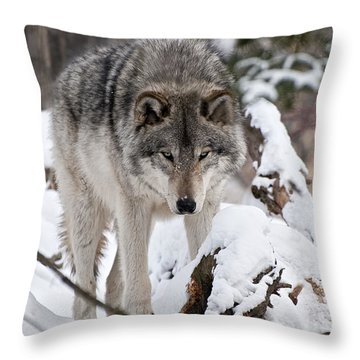 Throw Pillow featuring the photograph Winter Timber Wolf by Wolves Only