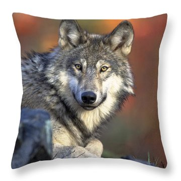 Throw Pillow featuring the photograph Wolf Predator Canidae Canis Lupus Hunter by Paul Fearn
