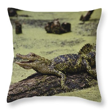 Young Alligator Throw Pillow by Gregory G. Dimijian, M.D.