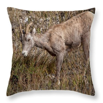 Bighorn Ewe Throw Pillow by Ronald Lutz