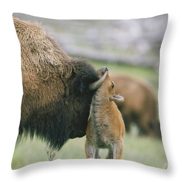A Female Bison Bison Bison Stands Throw Pillow by Tom Murphy