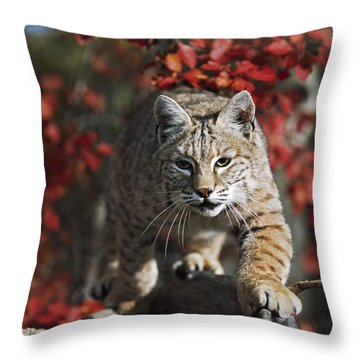 Bobcat Felis Rufus Walks Along Branch Throw Pillow by David Ponton