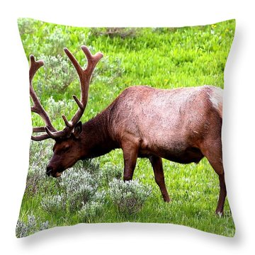 Bull Elk Throw Pillow by Carol Groenen