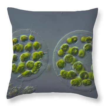 Eudorina Elegans, Green Algae, Lm Throw Pillow by M. I. Walker