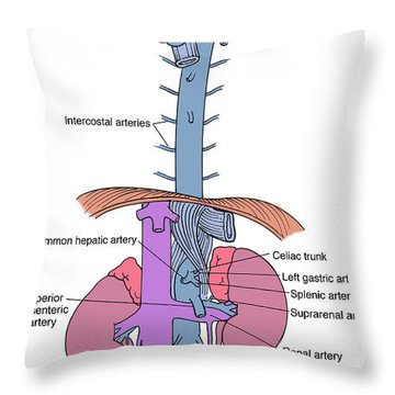 Illustration Of Aorta And Branches Throw Pillow by Science Source