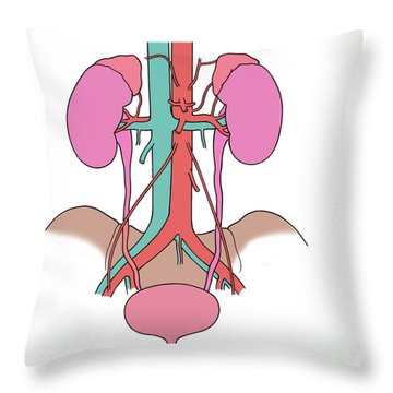 Illustration Of Urinary System Throw Pillow by Science Source
