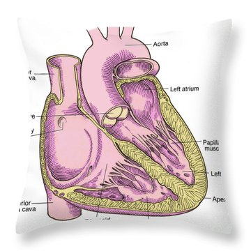 Illustration Of Heart Anatomy Throw Pillow by Science Source
