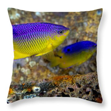 A Pair Of Juvenile Cocoa Damselfish Throw Pillow by Michael Wood