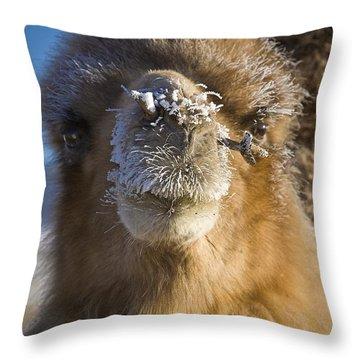 Bactrian Camel Camelus Bactrianus Throw Pillow by David DuChemin