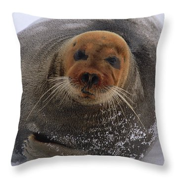 Bearded Seal Erignathus Barbatus Adult Throw Pillow by Flip  Nicklin