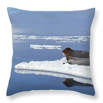 Bearded Seal Resting On Ice Floe Norway Throw Pillow by Flip Nicklin