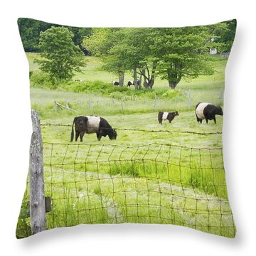Belted Galloway Cows On  Farm Rockport Maine Photo Throw Pillow by Keith Webber Jr