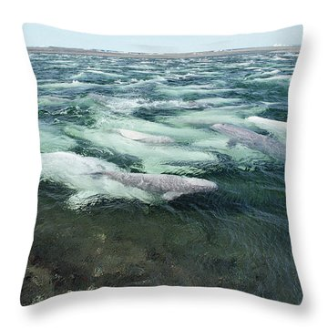 Belugas Swimming And Molting Throw Pillow by Flip Nicklin