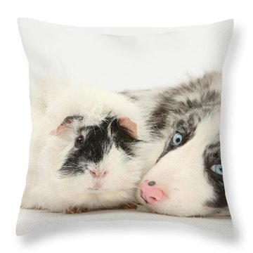 Blue Merle Border Collie With Guinea Pig Throw Pillow by Mark Taylor