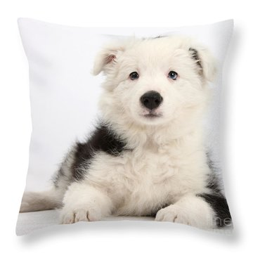 Border Collie Female Puppy Throw Pillow by Mark Taylor