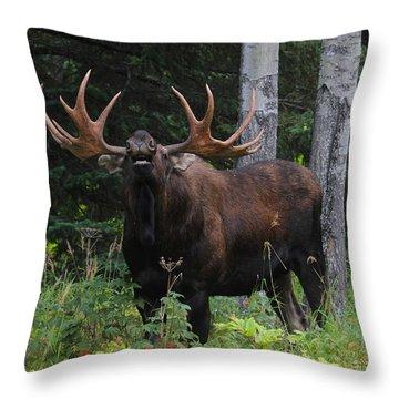 Bull Moose Flehmen Throw Pillow