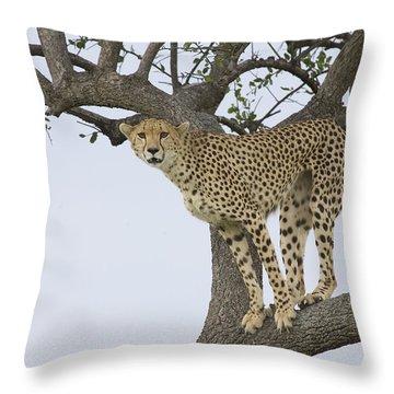Cheetah Acinonyx Jubatus Female Throw Pillow by Suzi Eszterhas