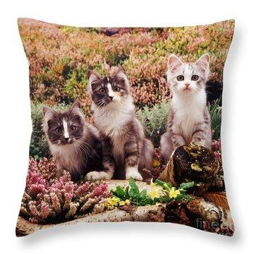 Chinchilla-cross Kittens Throw Pillow by Jane Burton