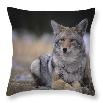 Coyote Resting In Winter Grass, Snowing Throw Pillow by Leanna Rathkelly