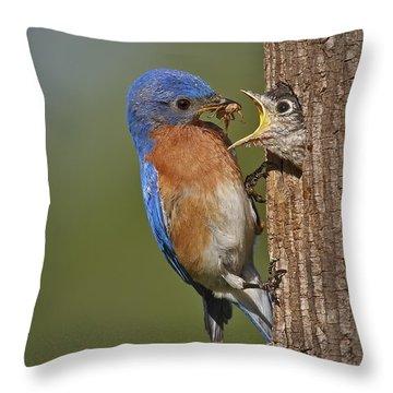 Eastern Bluebird Feeding Chick Throw Pillow by Susan Candelario