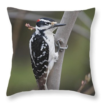 Hairy Woodpecker Picoides Villosus Throw Pillow by Amy Kay